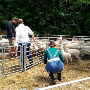 Schafe und Personen im Gatter